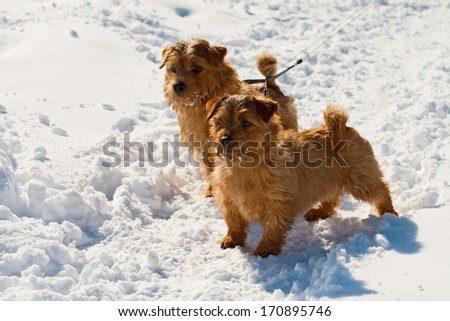 Two Norfolk Terriers on walk in the winter - stock photo