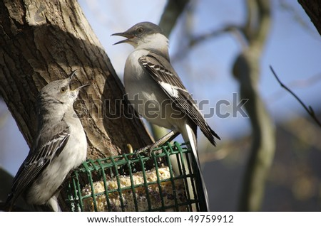 Two Northern Mockingbirds fighting on a suet feeder - stock photo