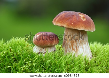 Two Oak Mushrooms in the moss - stock photo