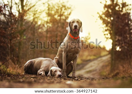 two obedient, happy, beautiful, healthy and young weimaraner dog or puppy patiently standing alone on a dirt road, hunting, spring nature - stock photo