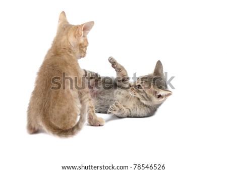 Two ocicact kittenplaying  on a white background. Studio shot. - stock photo