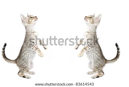 Two Ocicat kittens on a white background. Studio shot. - stock photo