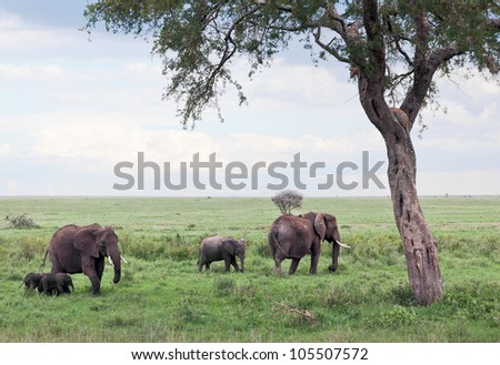 Two of the leopard on a tree watching the herd of elephants in Serengeti Nature Reserve in Tanzania - East Africa - stock photo