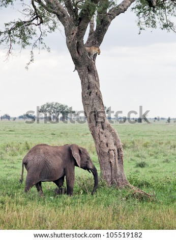Two of the leopard on a tree watching the herd of elephants in Serengeti Nature Reserve in Tanzania, Africa - stock photo