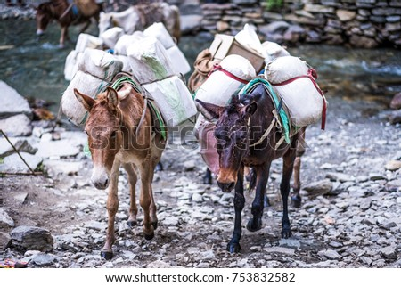 Two old donkeys carrying goods through stone trail in Nepalese Himalayas.
