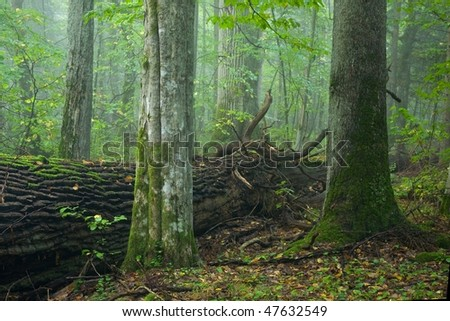 Two old trees in foreground, deciduous hornbeam and coniferous spruce standing sise by side with broken oak behind them. Deciduous stand with old oak in background - stock photo