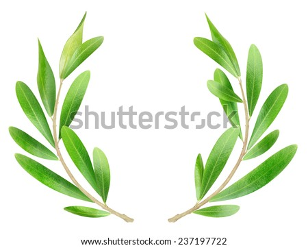 Two olive branches isolated on white background, with clipping path - stock photo