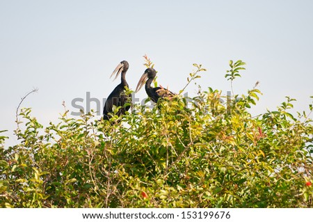 two open billed storks sitting on a bush - national park selous game reserve in tanzania - stock photo