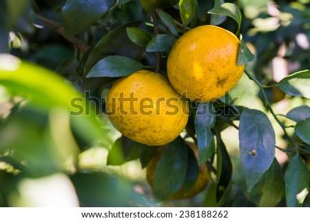 Two orange ball in the garden - stock photo