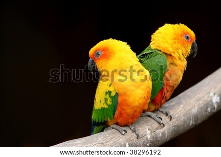 Two orange parrots creating striking image with black background - stock photo