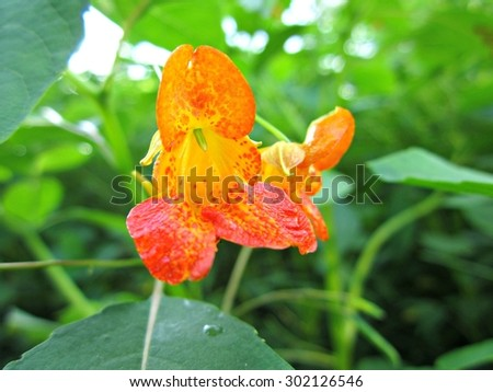 Two orange spotted jewelweed (Impatiens capensis) flowers. Also called common jewelweed and touch-me-not.  - stock photo
