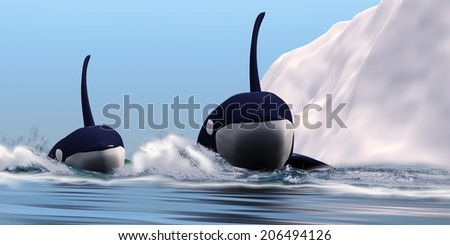 Two Orca Whales - Two bull Killer Whales pass near an iceberg in the north Arctic ocean. - stock photo