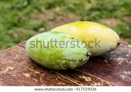 Two organic raw mangoes.Mango on a wooden table.Mangoes bunch of the organic farm in Thailand. tinting. selective focus on the mangos slices.Two Mango from the garden on a wooden table . - stock photo