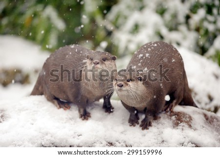 Two Oriental Small-Clawed Otters on a rock in the snow (Amblonyx cinereus) - stock photo