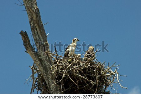two osprey chicks in large nest high up in old tree