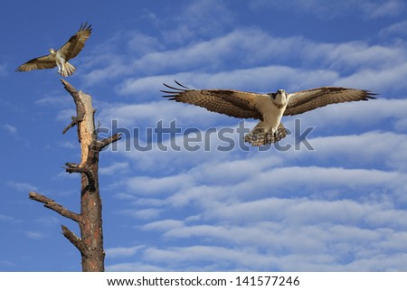 Two Osprey, on a Dead Tree and One Flying Toward You in a Beautiful Cloudy Sky - stock photo