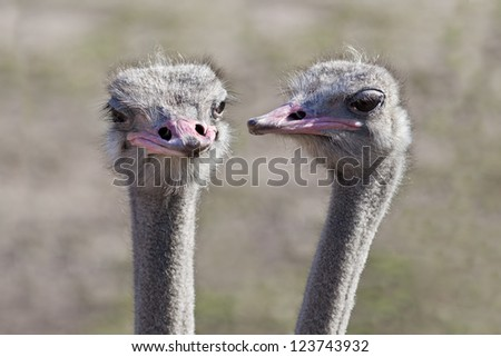 Two ostriches (Struthio camelus) that appear to be having a conversation with each other. - stock photo