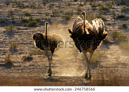 Two ostriches (Struthio camelus) walking in dust, Kalahari desert, South Africa   - stock photo