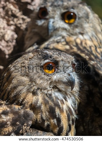 Two owls bubo bubo with yellow eyes. Close up view