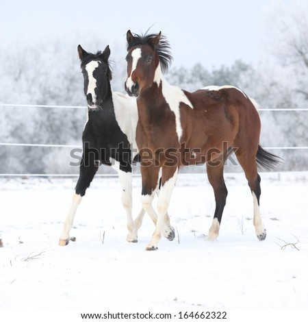 Two paint horses playing on snow in cold winter - stock photo