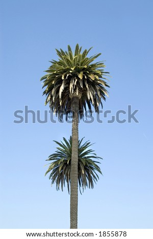 Two palm trees. - stock photo