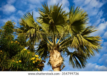 Two palm trees before blue sky with few clouds / Two palms with great green leaves standing alone in front of nice blue sky / Marvelous tropical palm trees - stock photo