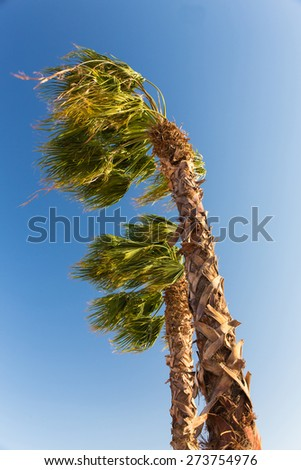 two palm trees in the wind - stock photo