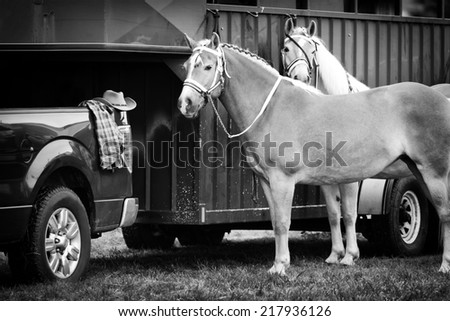 Two Palomino horses stand waiting beside a horse trailer hooked up to a pickup truck during a competition at a fair.  Processed in Black and White.  - stock photo