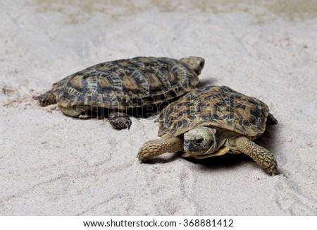 Two Pancake Tortoises / Malacochersus tornieri - stock photo