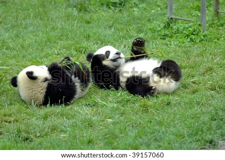 two pandas are playing - stock photo