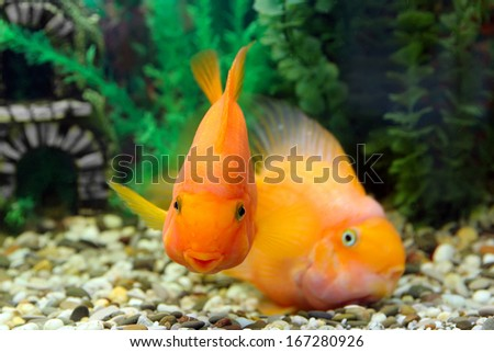 Two parrot fish