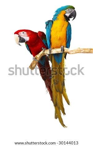 two parrots colorful isolated in white background - stock photo