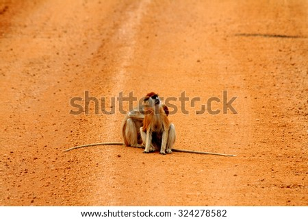 Two Patas monkeys, one being groomed by the other, in the middle of a red dirt road in Murchison Falls National Park in Uganda. - stock photo