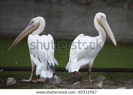 Two pelicans standing back to back