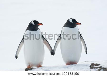 Two penguins Gentoo (Pygoscelis papua). - stock photo