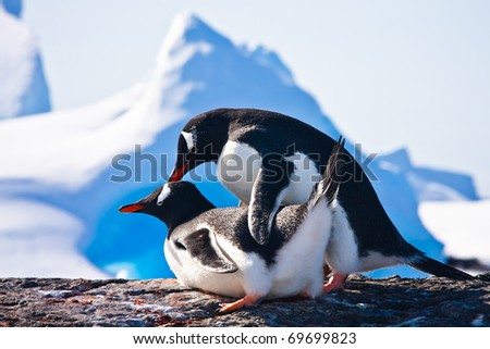 Two penguins make love on a rock, mountains in the background - stock photo