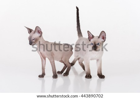 Two Peterbald Sphynx Cats Standing on the white table with reflection and white background