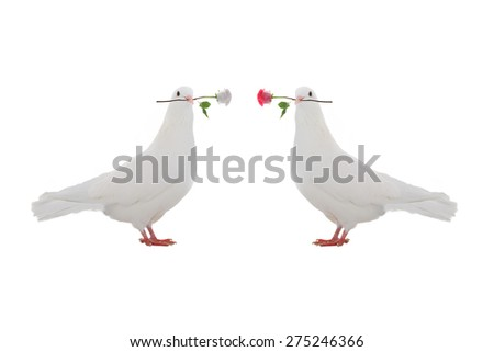 two pigeon with a rose on a white background - stock photo