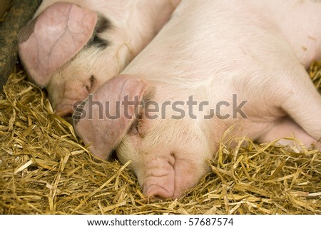 Two pigs sleeping in a straw filled enclosure
