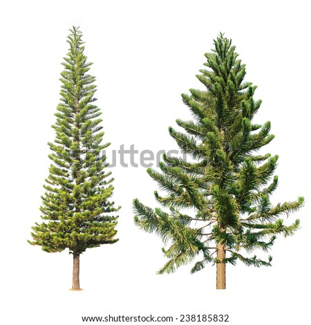 Two pine tree isolated on a white background. - stock photo