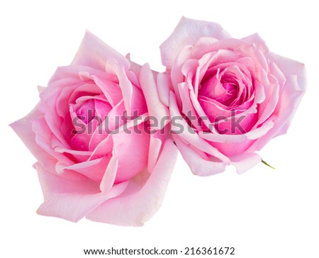 two pink blooming roses  isolated on white background - stock photo