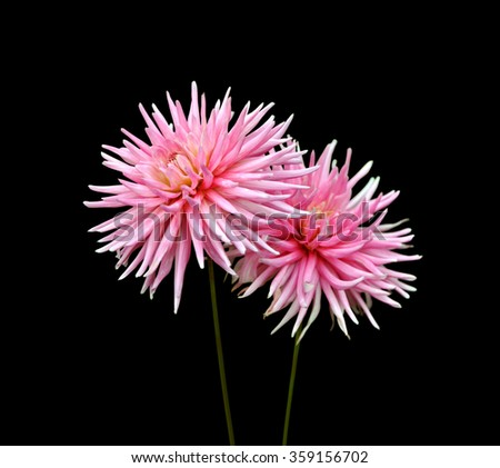 Two pink dahlia isolated on a black background
