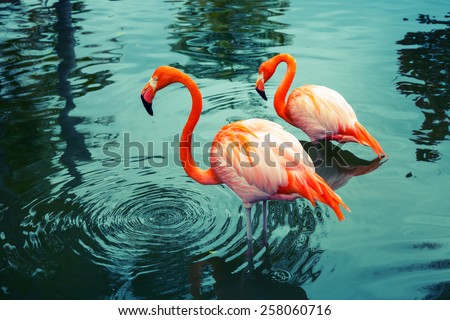 Two pink flamingos walking in the water with reflections. Vintage stylized photo, with colorful tonal correction filter like instagram - stock photo
