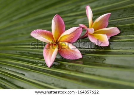 Two pink frangipani on wet palm leaf - stock photo