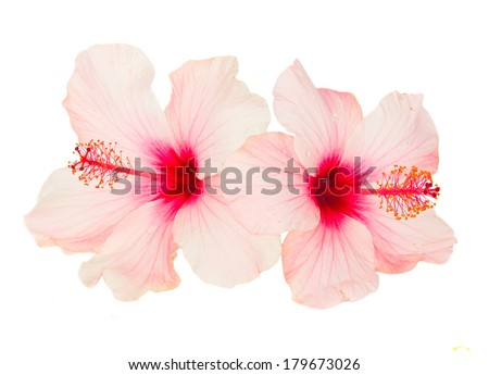 two pink  hibiscus flowers   isolated on white background - stock photo