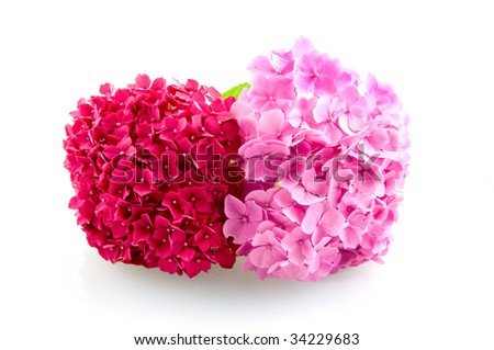 Two pink hortensia isolated on white background - stock photo
