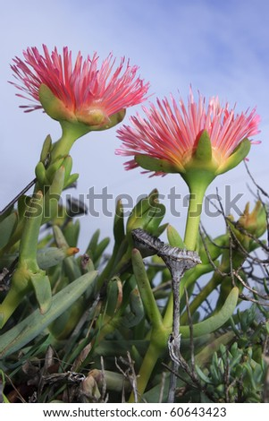 Two pink Namaqualand vygies from the side