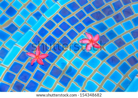 two pink ropical frangipani flower floating in blue swimming pool