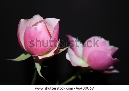 Two pink roses on a black background - stock photo