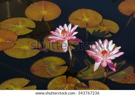 Two pink water lilies among pads in pond - stock photo